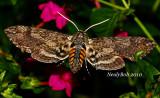 Tobacco Hornworm Moth August 22