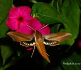 Hummingbird Moth August 25