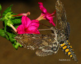 Hummimgbird Moth August 28