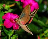 Hummingbird Moth August 29