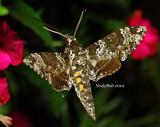 Hummingbird Moth September 1