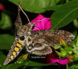 Hummingbird Moth September 3