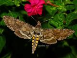 Hummingbird Moth August 16