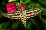 White-lined Sphinx Hummingbird Moth August 18