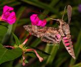Hummingbird Moth September 19