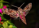 Pink Spotted Hawk Moth September 21