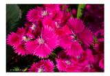 Dianthus September 26