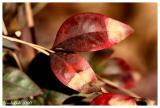 Red Leaves January 8 *