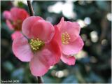 Flowering Quince February 6