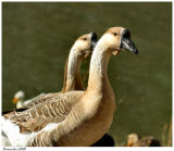Two Geese February 7 *