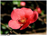 Flowering Quince February 8 *