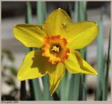 Daffodil February 15 *