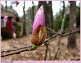 Tulip Tree Bud February 17 *