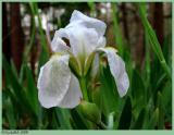 White Iris March 12 *