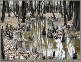Cypress Knees March 13 *