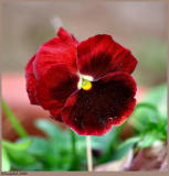 Pansy March 21 *
