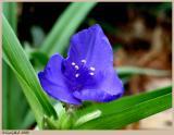 Spiderwort March 22 *