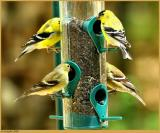 4 Goldfinches April 5 *