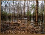 Flooded Trees April 7 *