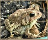 Fat Little Toad April 8 *