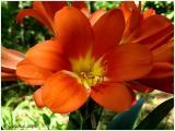 Kaffir Lily April 16 *