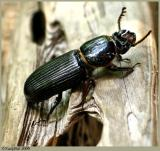 Beetle Bug April 21 *