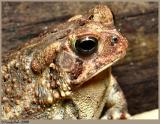 Tommy Toad April 22 *
