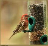 House Finch May 15 *