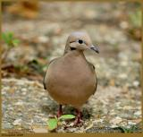 Mourning Dove May 16 *