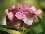 Hydrangea May 17 *