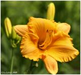 Day Lily May 18 *