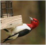 Red Headed Woodpecker May 19 *