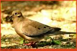 Mourning Dove May 20 *