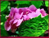 Pink Hydrangea May 22 *