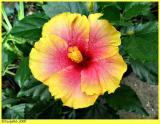 Orange Hibiscus May 23 *