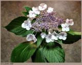 Lace Hydrangea May 26 *