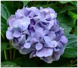 Blue Hydrangea May 27 *