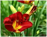Day Lily May 28 *