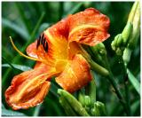 Day Lily May 31 *