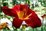 Day Lily June 4 *