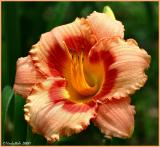 Day Lily June 6 *