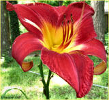 Day Lily June 8 *