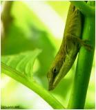 Green Anole June 10 *