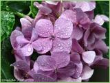 Hydrangea After The Rain June 19 *