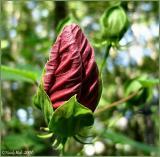 Hibicus Bud June 23 *