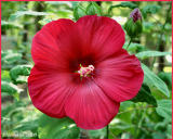 Hibiscus June 24 *