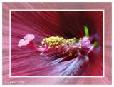 Hibiscus Macro June 26 *