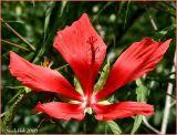 Hibiscus July 6 *