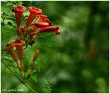 Trumpeter Bloom July 12 *