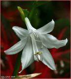 Hosta Bloom July 27 *